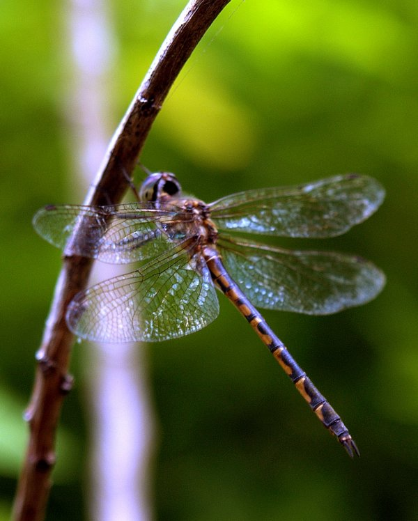 Dragonfly   (Backyard Nature Photography Series)