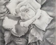 """""""Amazing Grace"""" Rose"""