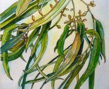 Gum Leaf Windfall