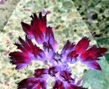 Blossum Shine